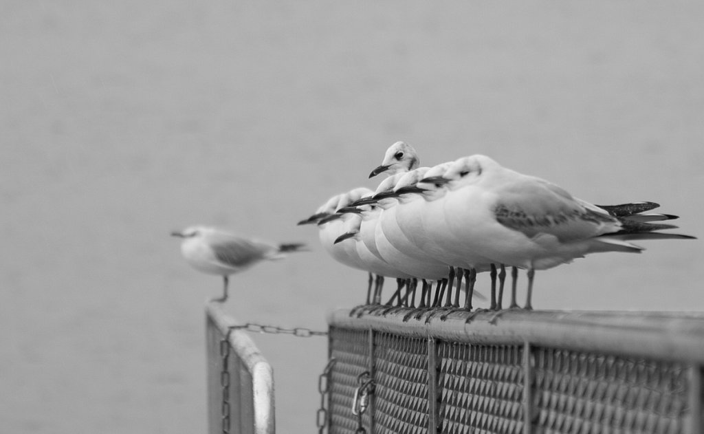 BW-Street-Geneve-Pigeons-1.jpg